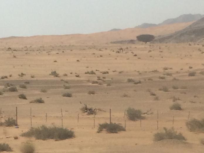 Wild camel!